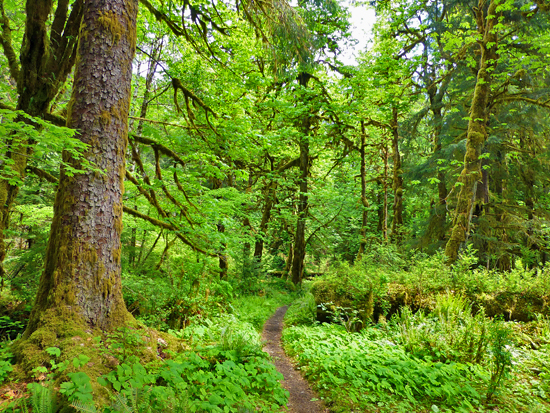 The lush Quinault rainforest leading into Enchanted Valley